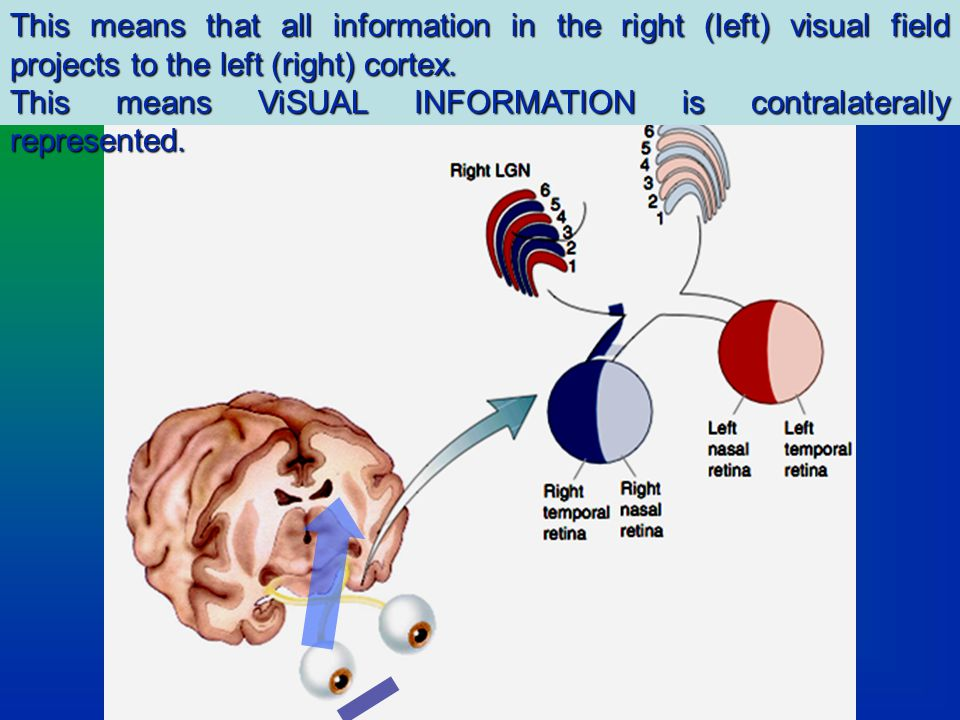 This means that all information in the right (left) visual field projects to the left (right) cortex.