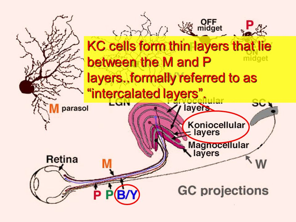 KC cells form thin layers that lie between the M and P layers