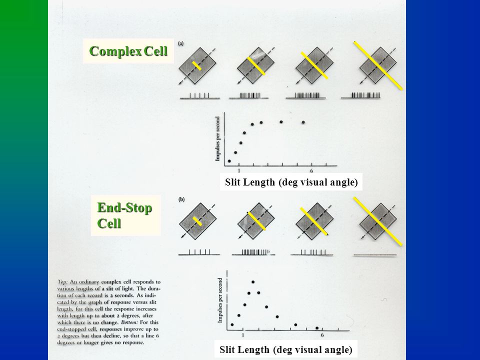 Complex Cell End-Stop Cell Slit Length (deg visual angle)