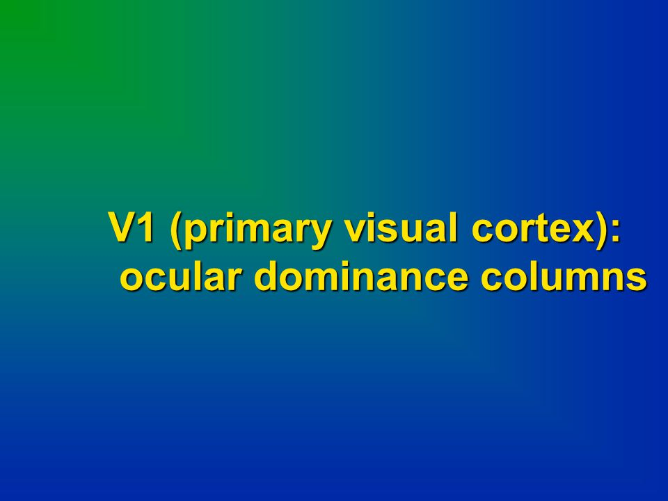 V1 (primary visual cortex):