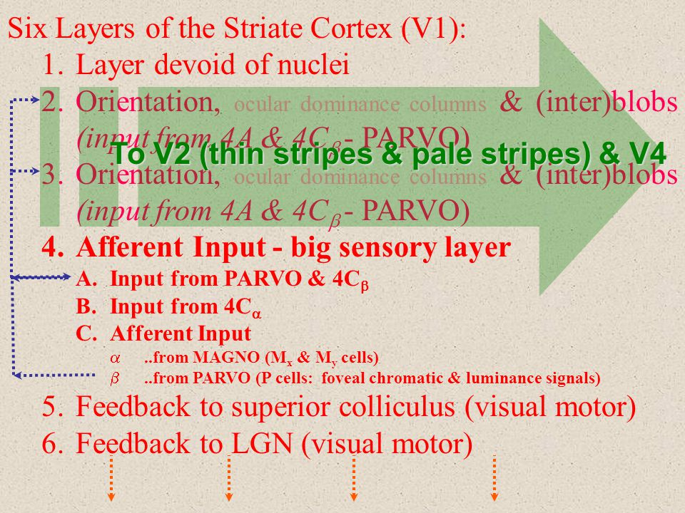 Six Layers of the Striate Cortex (V1): Layer devoid of nuclei