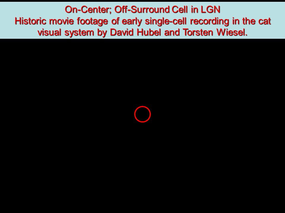 On-Center; Off-Surround Cell in LGN