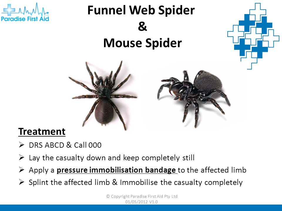 Funnel Web Spider & Mouse Spider