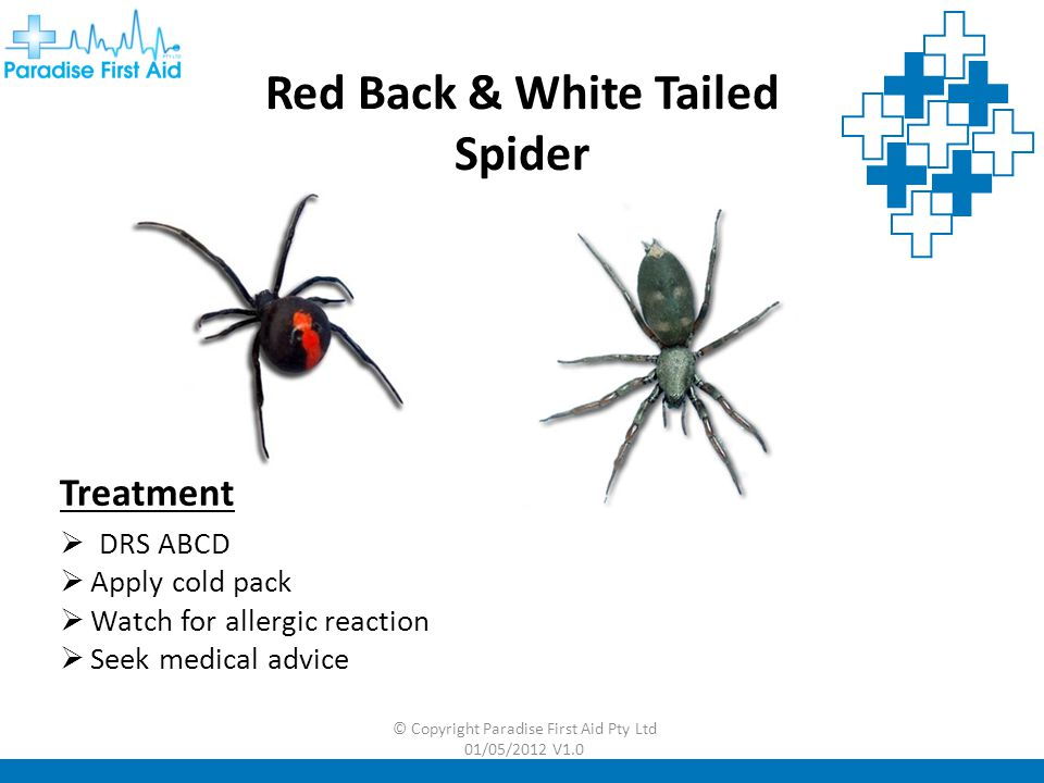 Red Back & White Tailed Spider