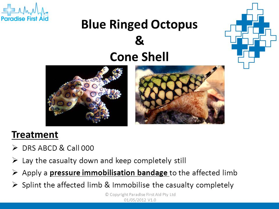 Blue Ringed Octopus & Cone Shell
