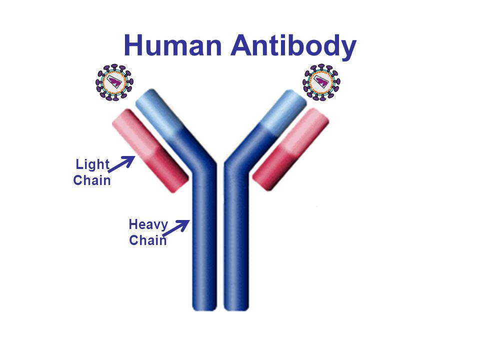 Human Antibody Light Chain Heavy Chain