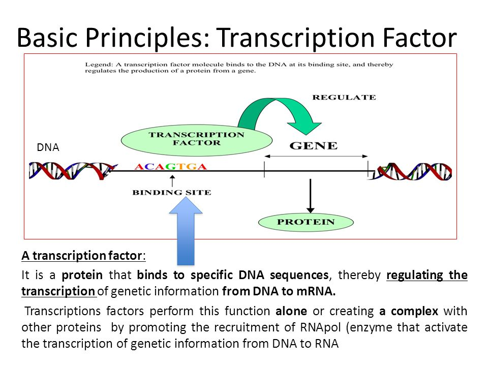 Basic Principles: Transcription Factor