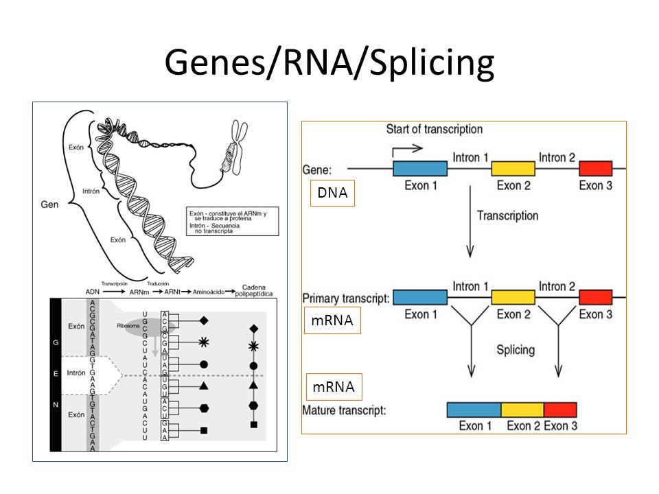 Genes/RNA/Splicing DNA mRNA