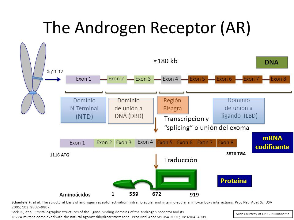 The Androgen Receptor (AR)