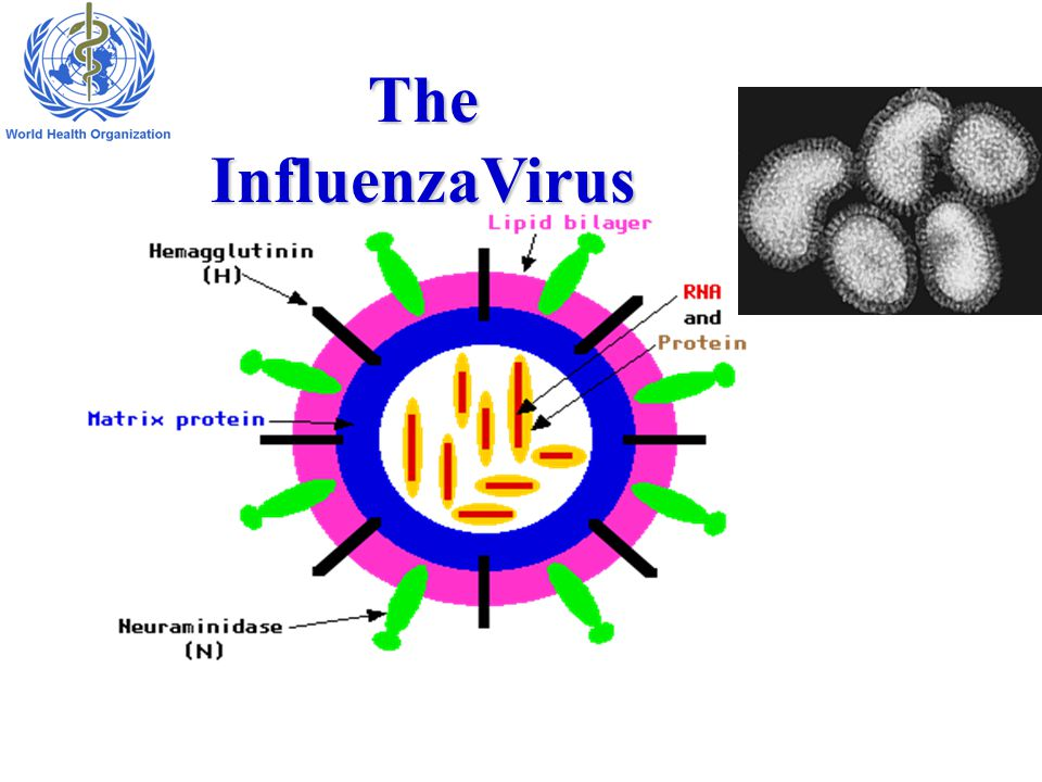 The InfluenzaVirus 7