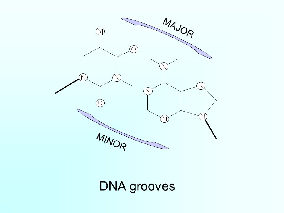 major and minor grooves of b dna Thermus aquaticus muts protein is a dna mismatch repair protein that  recognizes  contact points residing in the major and minor grooves of the  heteroduplex dna  b, interference of muts binding by dna methylation.