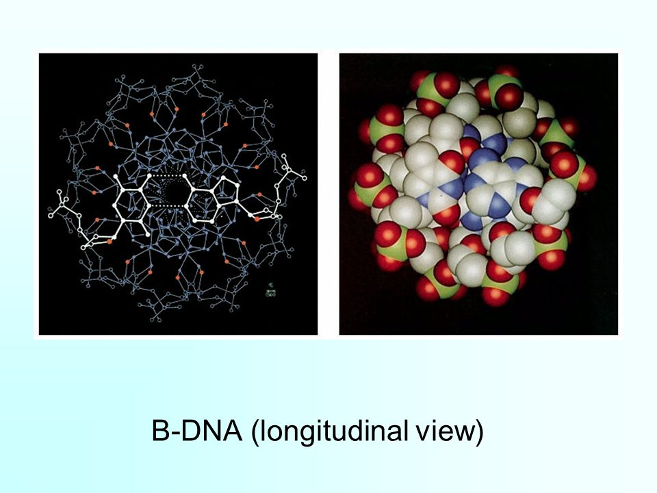 B-DNA (longitudinal view)