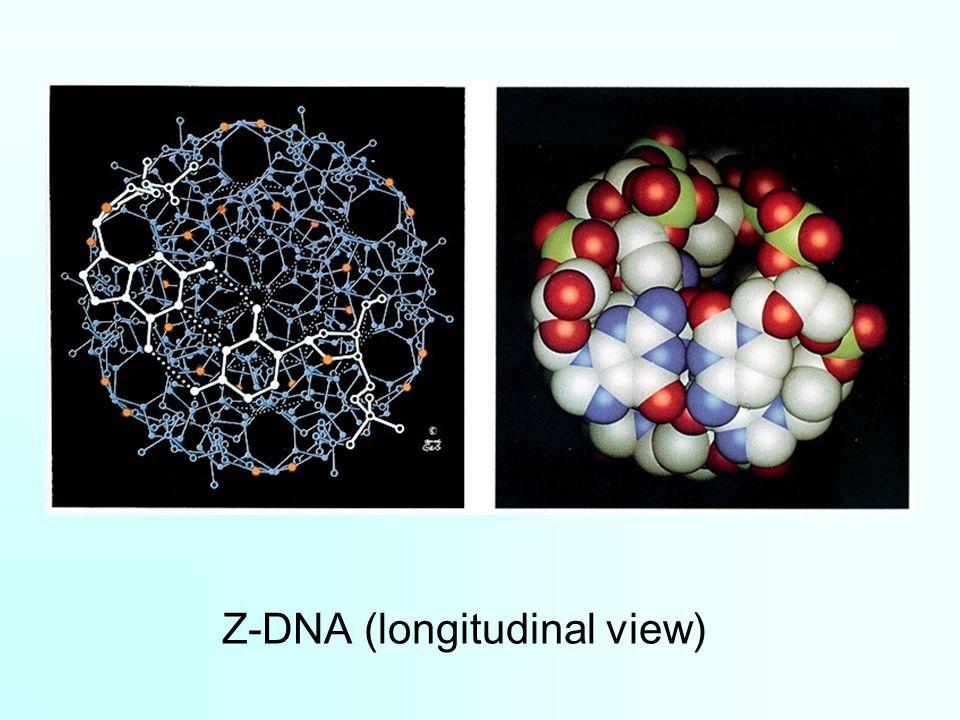 Z-DNA (longitudinal view)