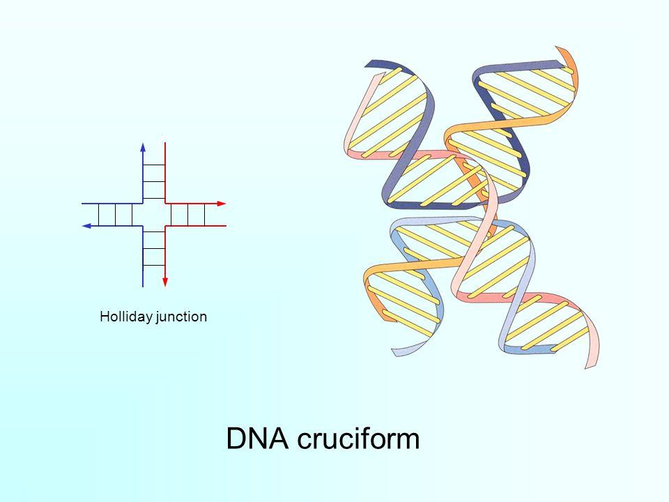 Holliday junction DNA cruciform