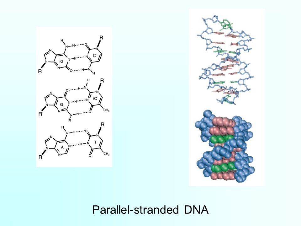 Parallel-stranded DNA