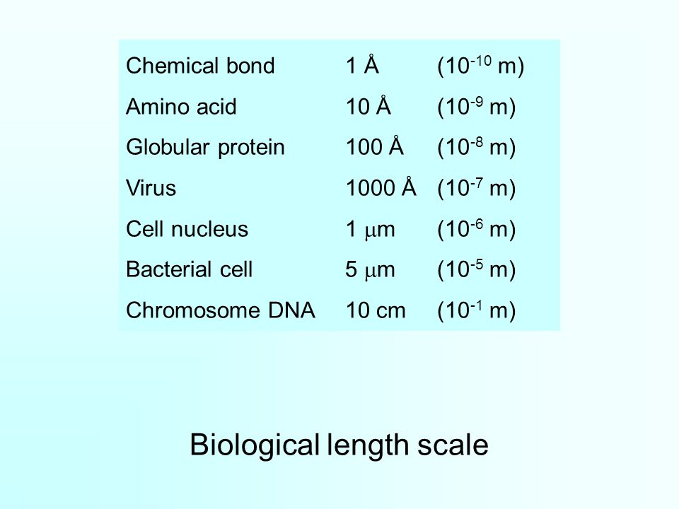 Biological length scale