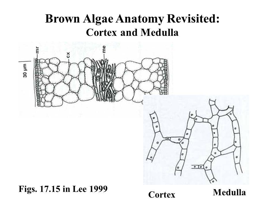 Brown Algae Anatomy Revisited: