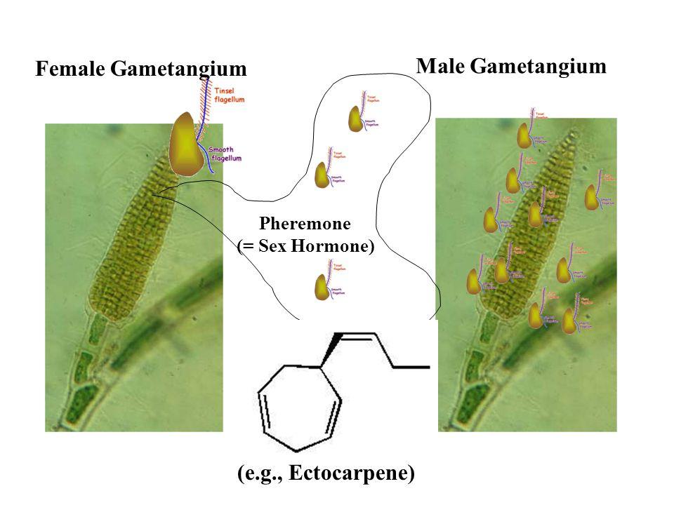 Male Gametangium Female Gametangium (e.g., Ectocarpene) Pheremone