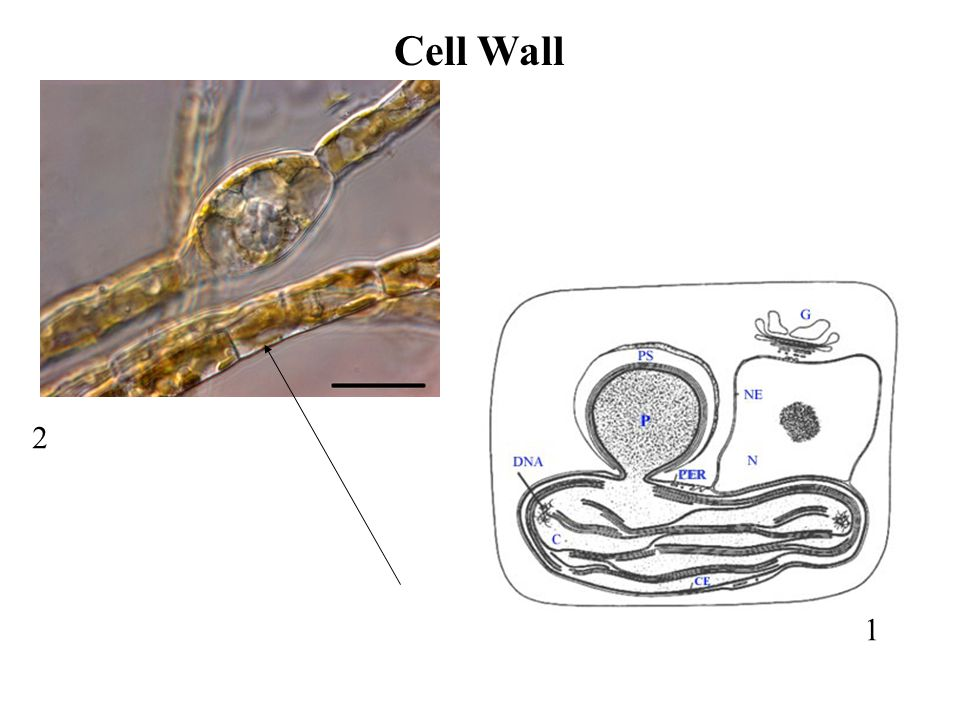 Cell Wall 2 1