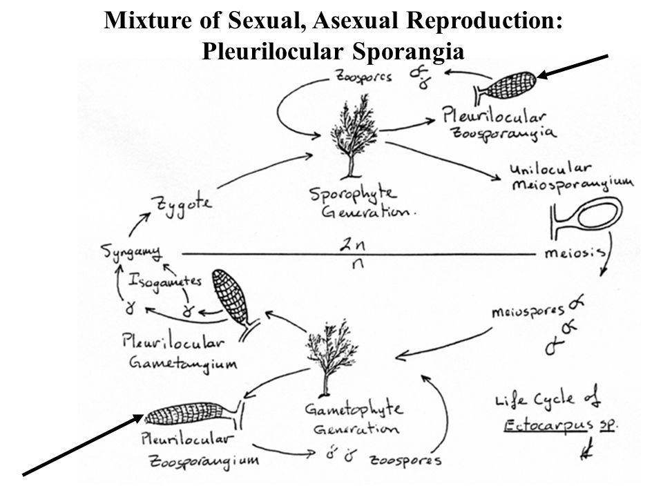 Mixture of Sexual, Asexual Reproduction: Pleurilocular Sporangia