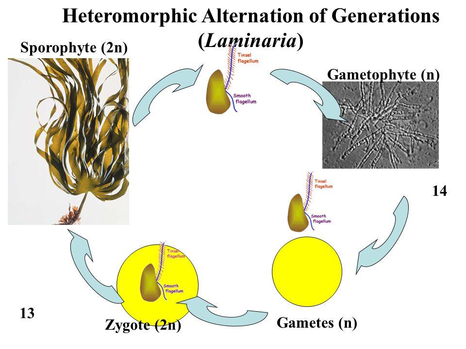 Heteromorphic Alternation of Generations