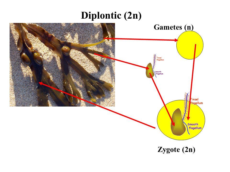 Diplontic (2n) Gametes (n) Zygote (2n)
