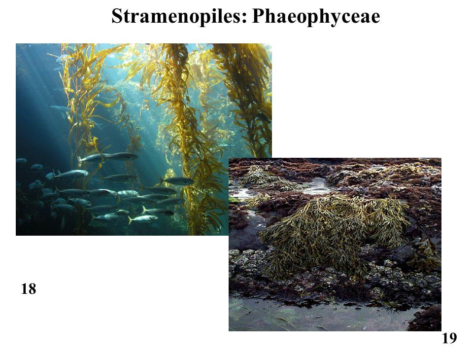 Stramenopiles: Phaeophyceae