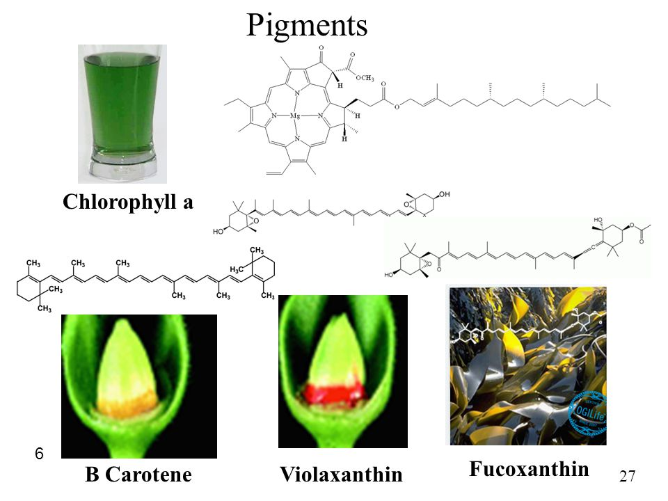 Pigments Chlorophyll a 6 Fucoxanthin B Carotene Violaxanthin 27