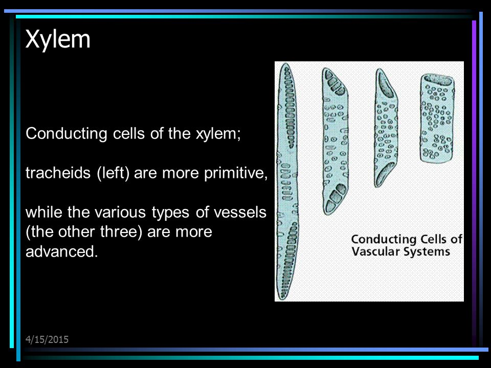 Xylem Conducting cells of the xylem;