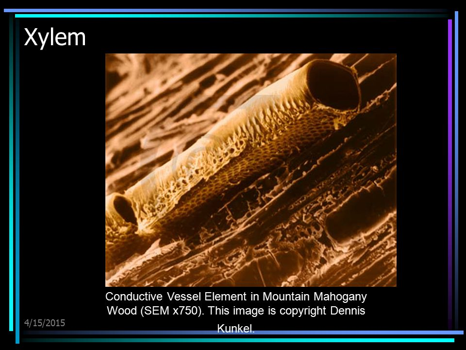 Xylem Conductive Vessel Element in Mountain Mahogany Wood (SEM x750). This image is copyright Dennis Kunkel.