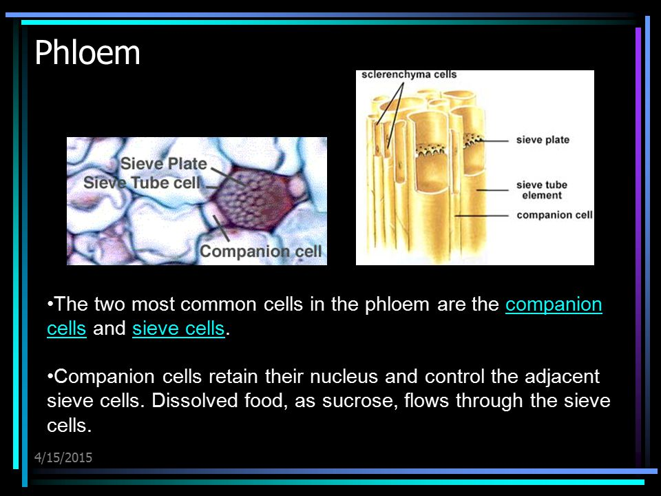Phloem The two most common cells in the phloem are the companion cells and sieve cells.