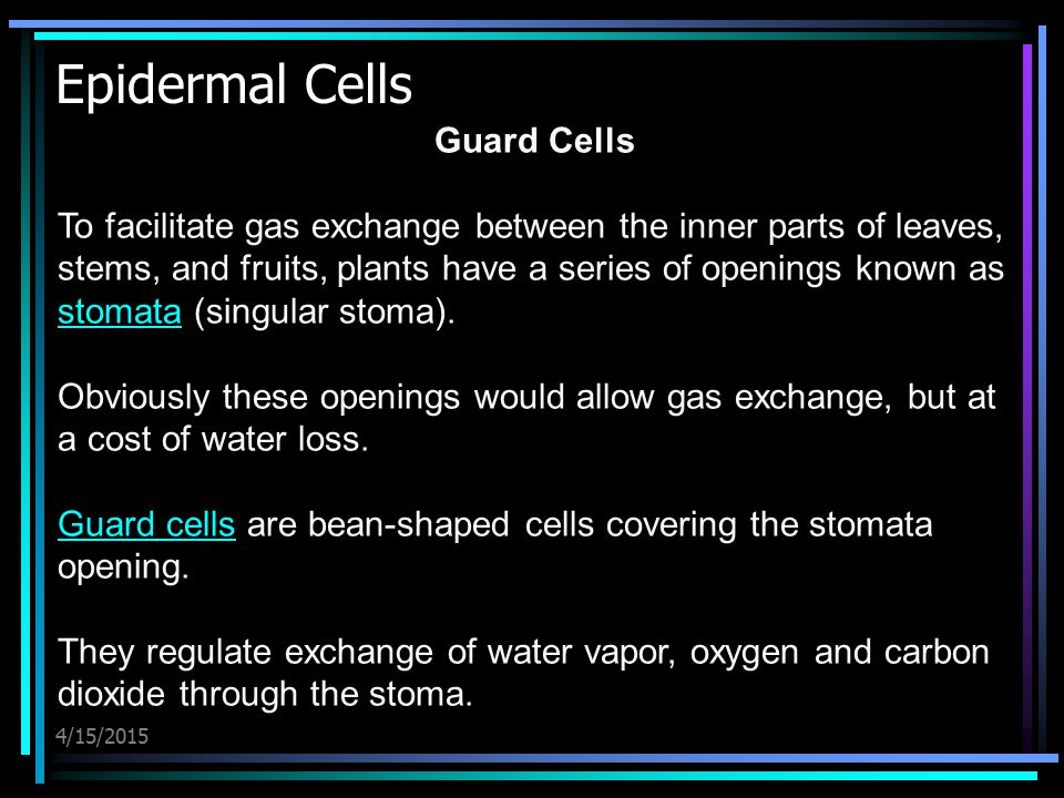 Epidermal Cells Guard Cells