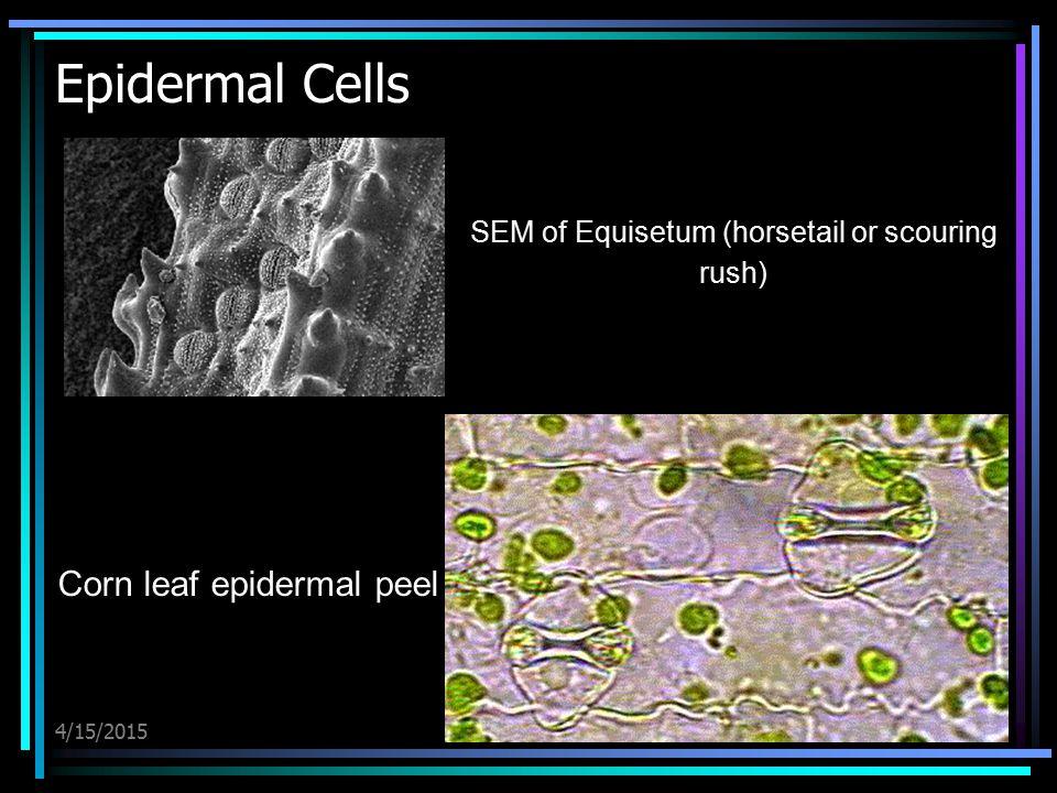 Epidermal Cells Corn leaf epidermal peel