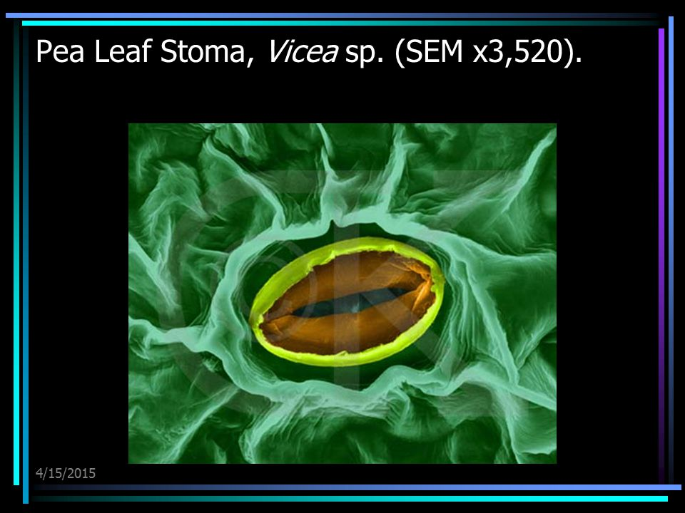 Pea Leaf Stoma, Vicea sp. (SEM x3,520).