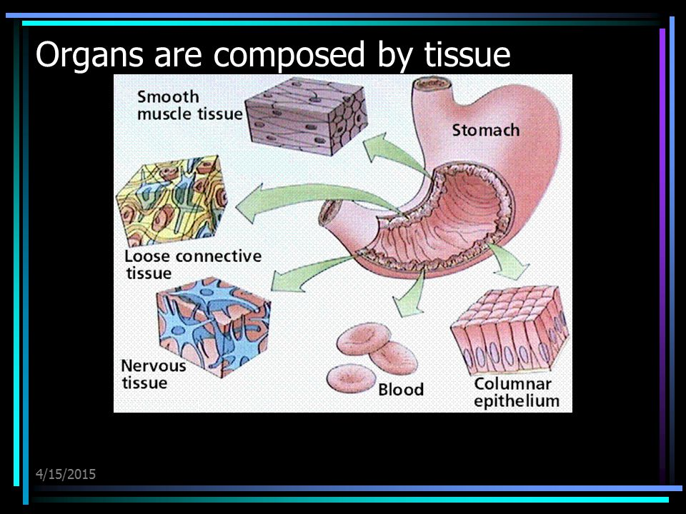 Organs are composed by tissue