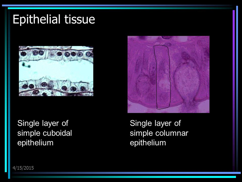 Epithelial tissue Single layer of simple cuboidal epithelium
