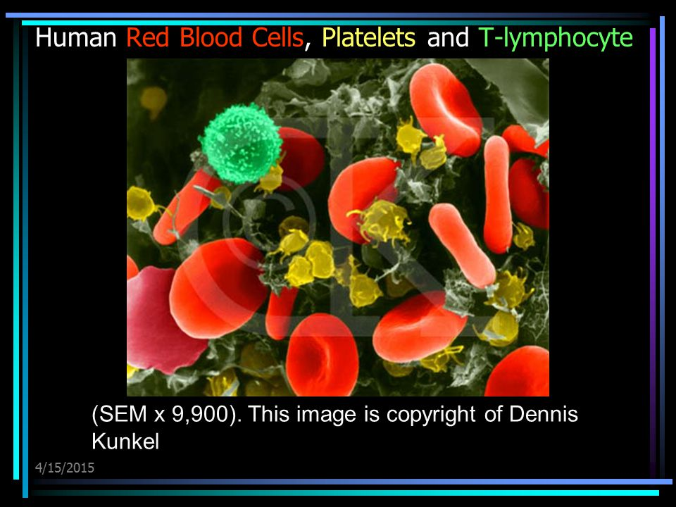 Human Red Blood Cells, Platelets and T-lymphocyte