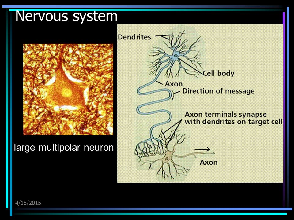large multipolar neuron