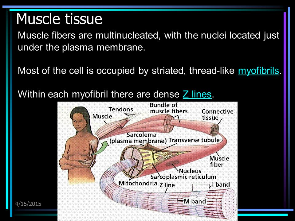 Muscle tissue Muscle fibers are multinucleated, with the nuclei located just under the plasma membrane.