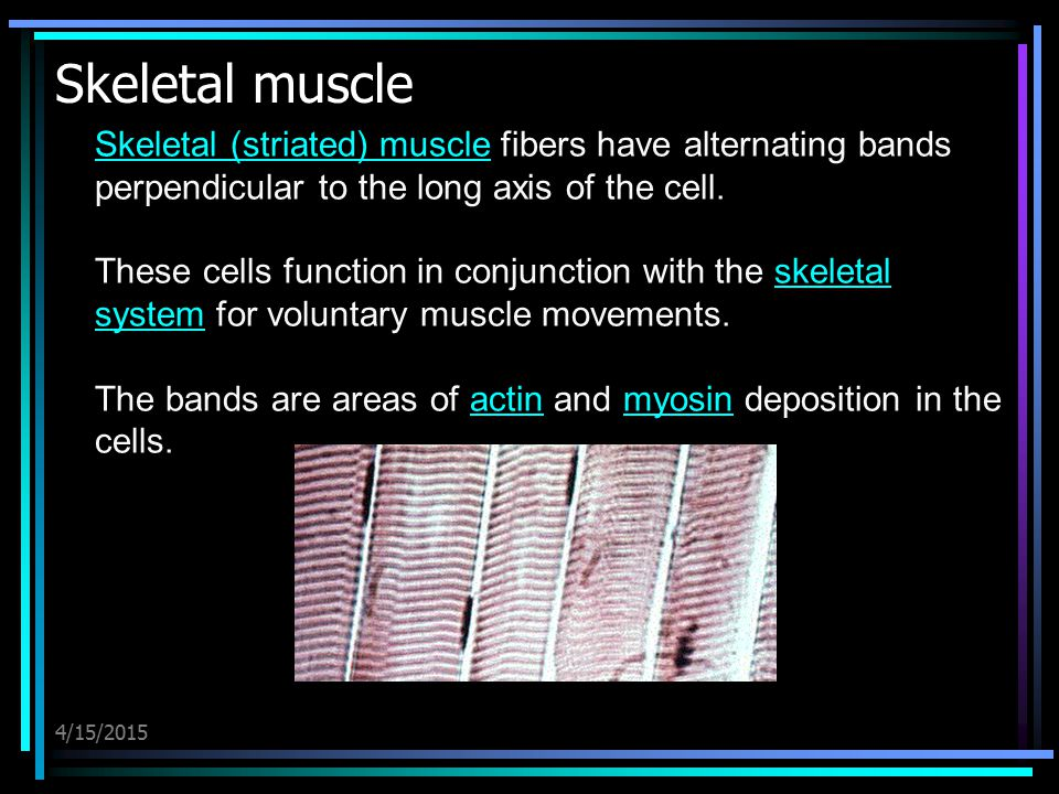 Skeletal muscle Skeletal (striated) muscle fibers have alternating bands perpendicular to the long axis of the cell.