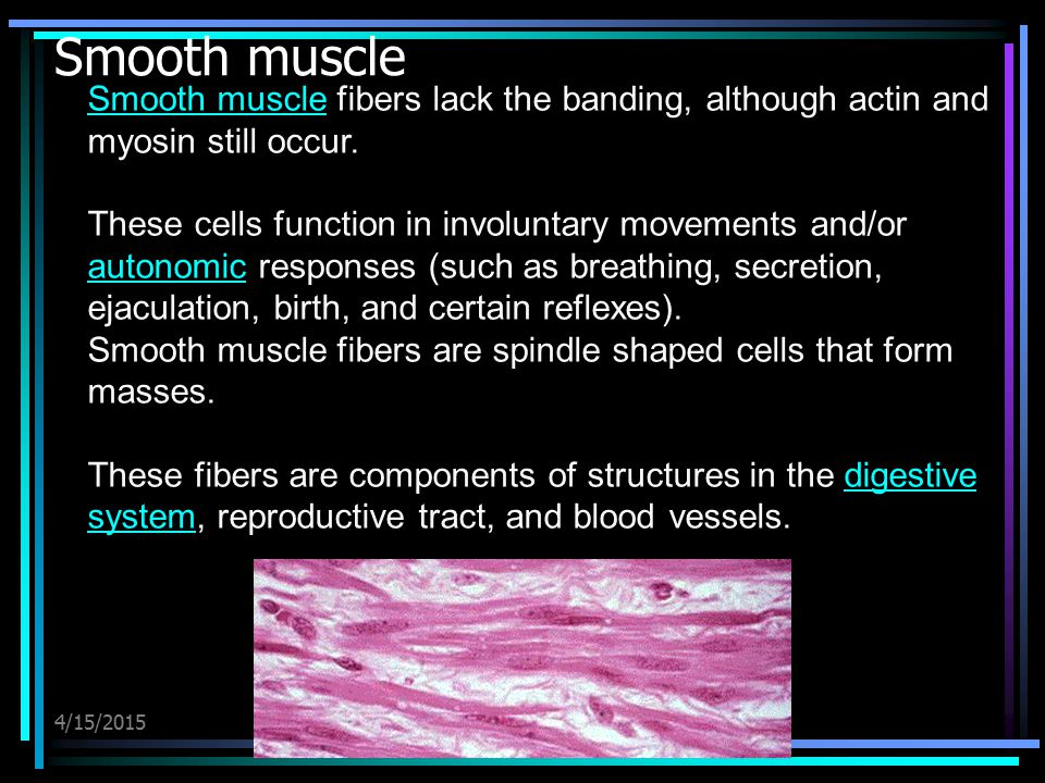 Smooth muscle Smooth muscle fibers lack the banding, although actin and myosin still occur.