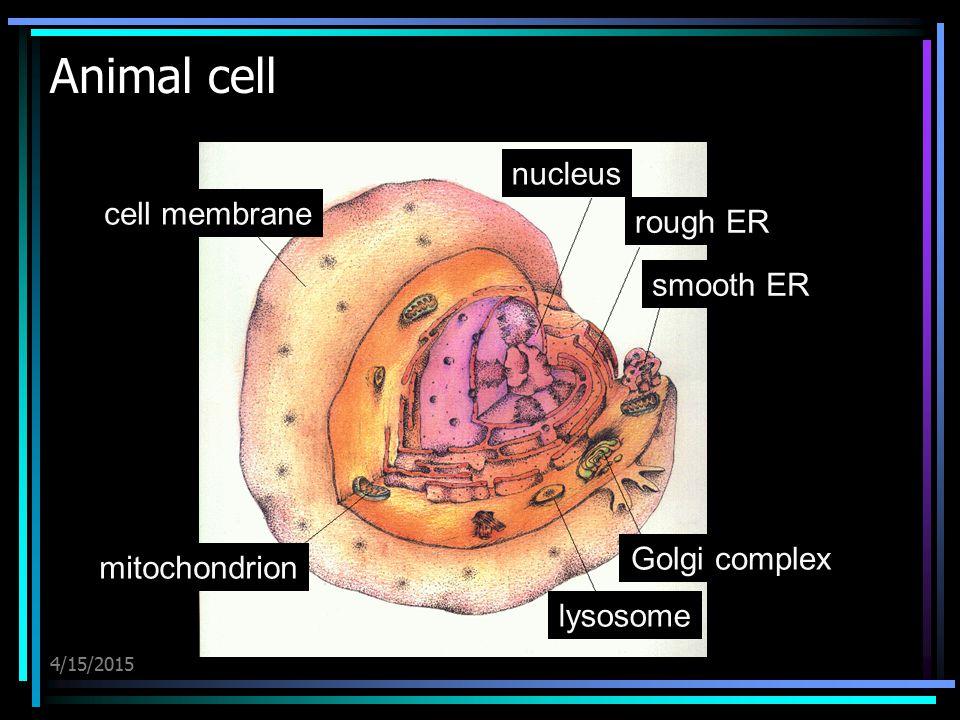 Animal cell nucleus cell membrane rough ER smooth ER Golgi complex