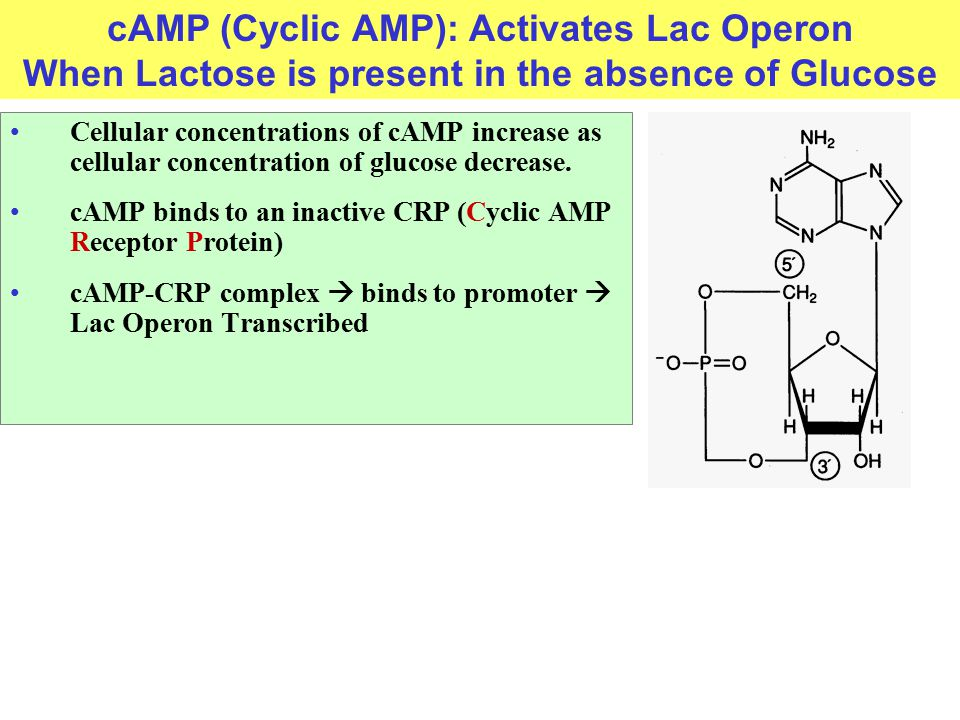 cAMP (Cyclic AMP): Activates Lac Operon