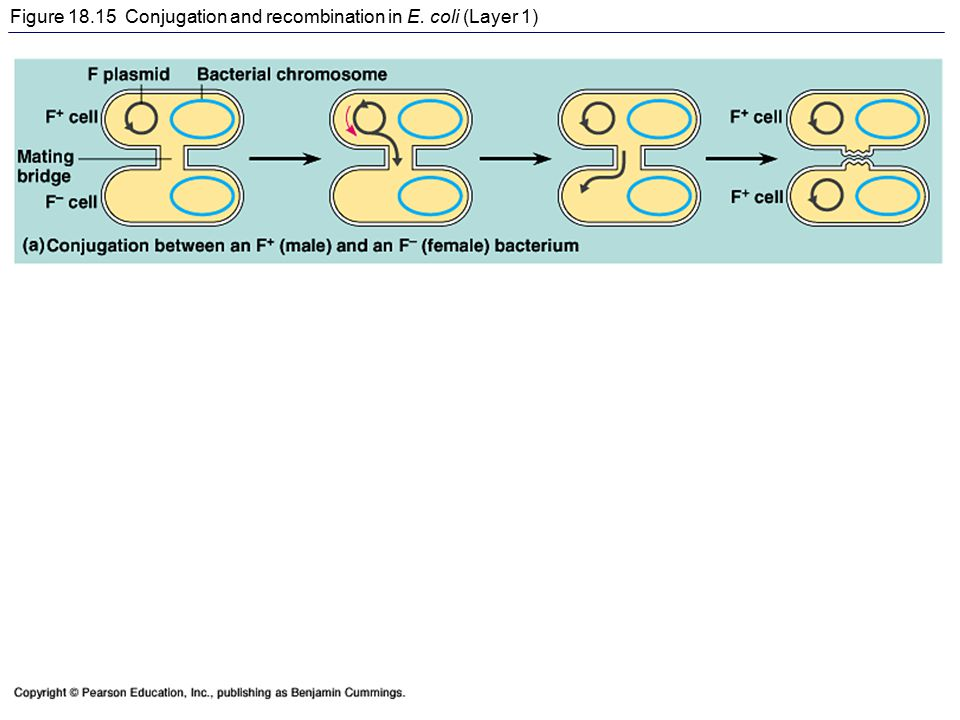Figure 18.15 Conjugation and recombination in E. coli (Layer 1)