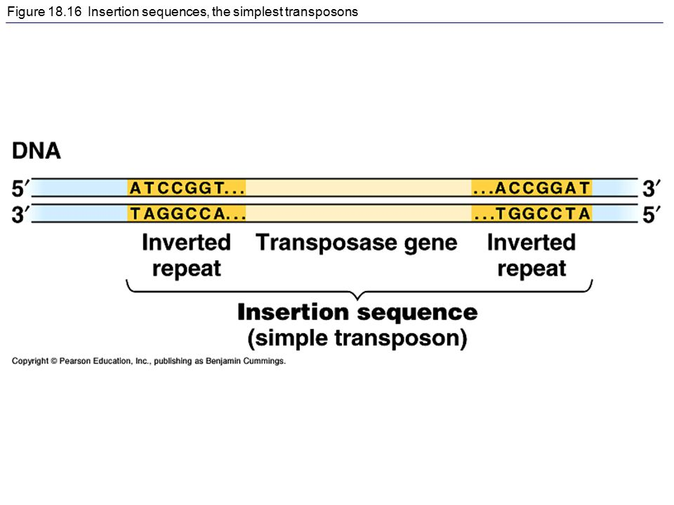 Figure 18.16 Insertion sequences, the simplest transposons