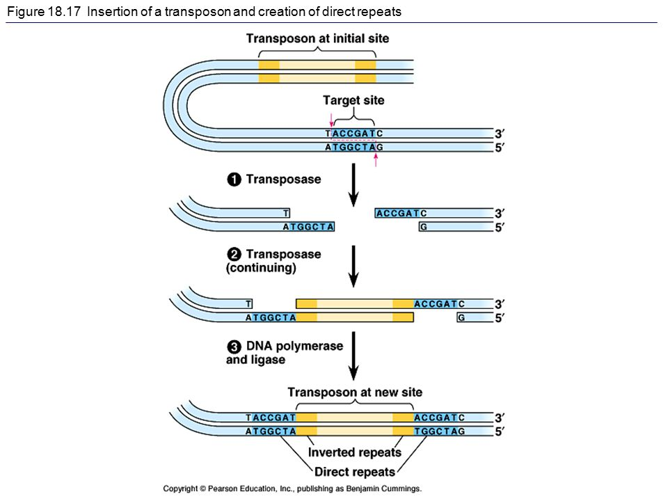 Figure 18.17 Insertion of a transposon and creation of direct repeats