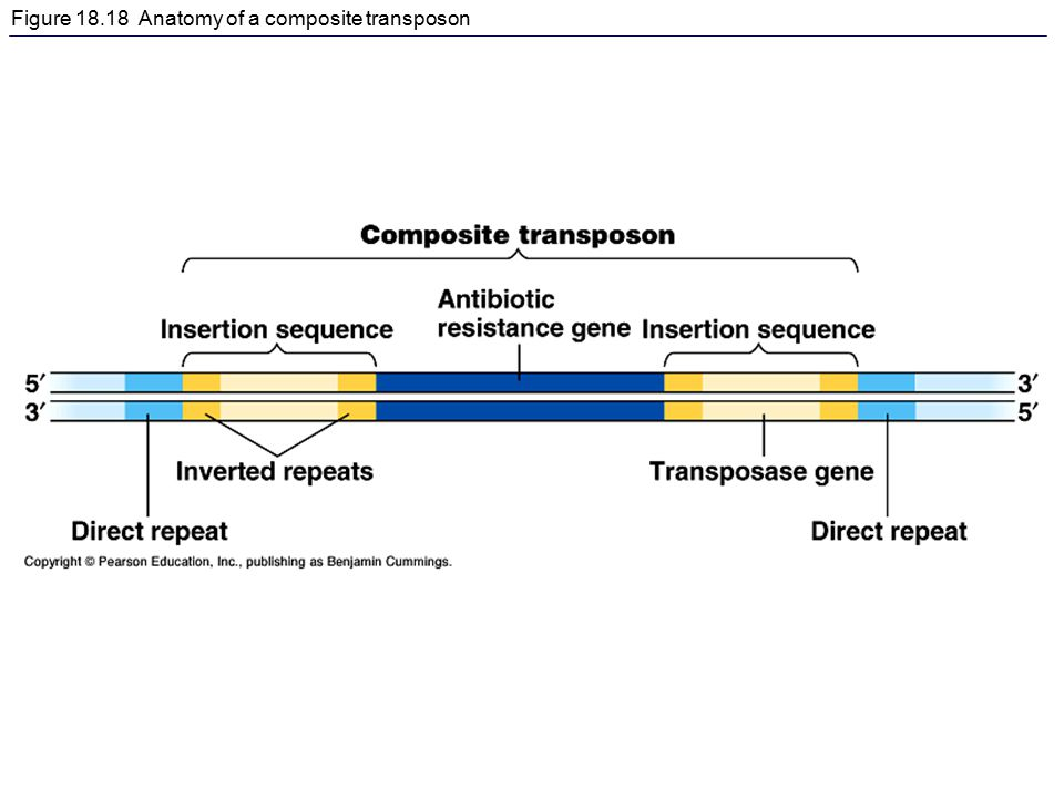 Figure 18.18 Anatomy of a composite transposon