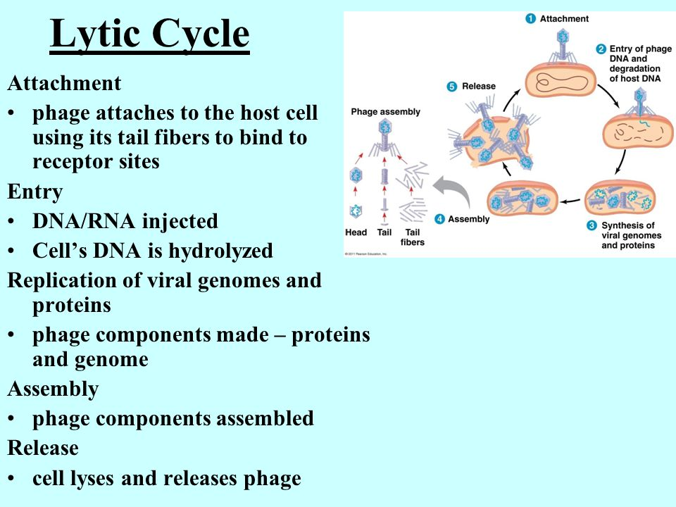 Lytic Cycle Attachment