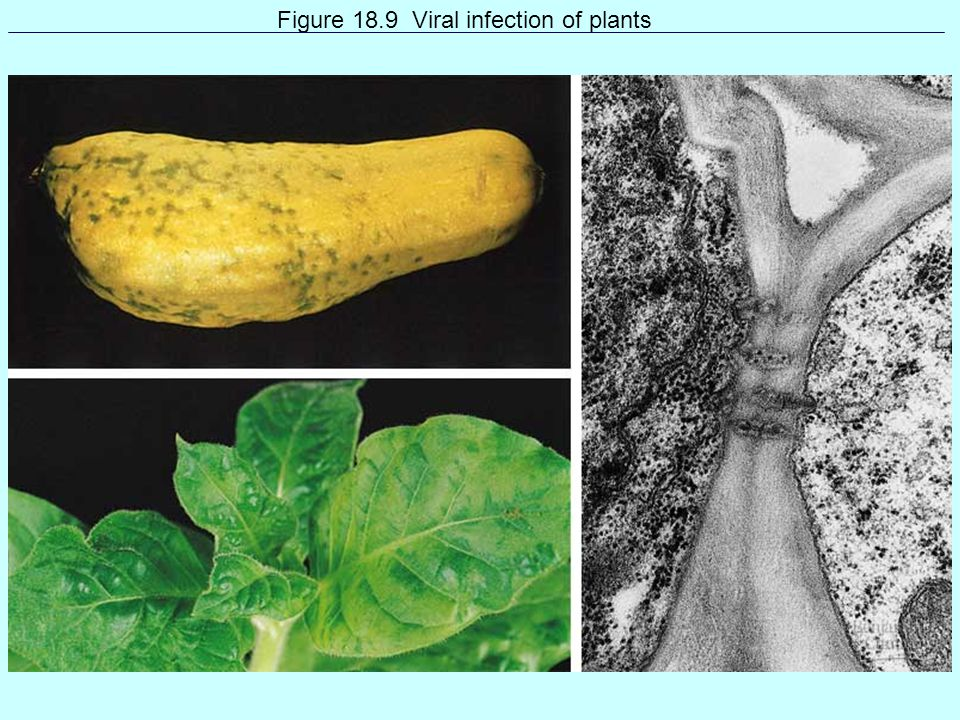 Figure 18.9 Viral infection of plants