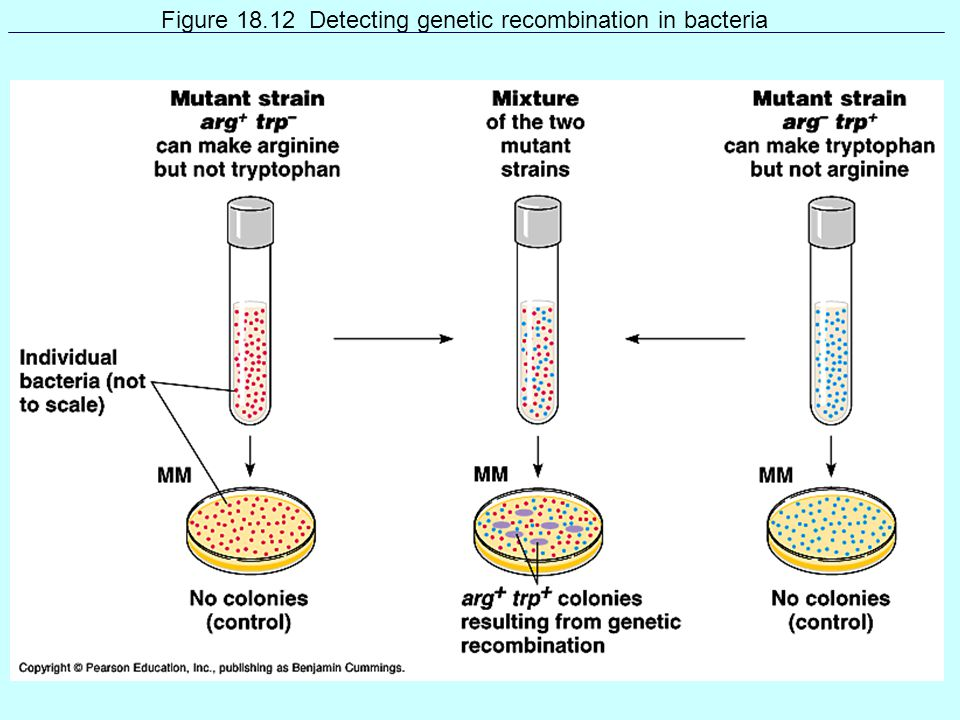 Figure 18.12 Detecting genetic recombination in bacteria